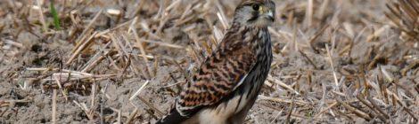 チョウゲンボウの若鳥の季節