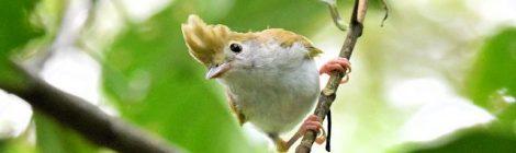 台湾紀行(6)~チメドリと名のつく小鳥たち