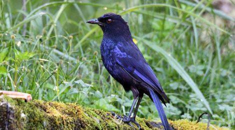 写真だとかなり青く見えるが、肉眼だと黒っぽい鳥という印象。