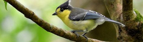 タイワンシジュウカラ。台湾ってかわいい小鳥が妙に多くないか?と嫉妬するレベル