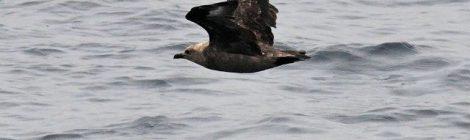 7月の大洗~苫小牧航路(2)~オオトウゾクカモメ、アカエリヒレアシシギ