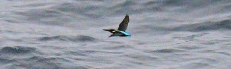 7月の大洗~苫小牧航路(3)~海を渡るカワセミ、ハイイロミズナギドリ