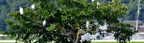 タカブシギ、ヨシゴイの幼鳥
