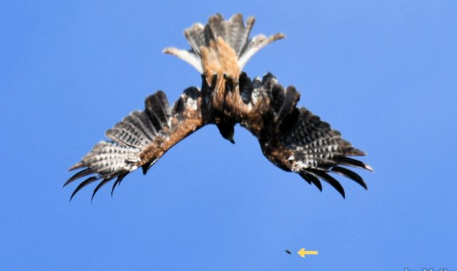 蒼天に鷹遊ぶ、水戸市森林公園タカの渡り