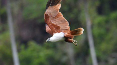 西パプア探鳥記 West Papua(11)猛禽類