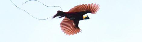 西パプア探鳥記  West Papua(2)ベニフウチョウ