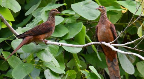 西パプア探鳥記   West Papua(5)ハトの仲間