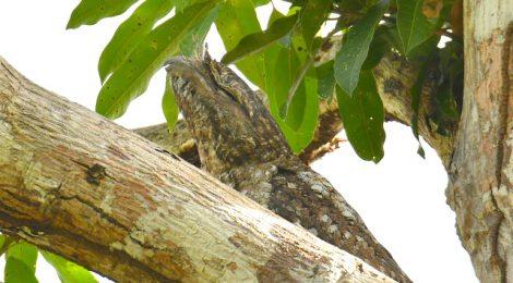 西パプア探鳥記   West Papua(9)テリヒラハシ、ガマグチヨタカ、ハシブトゴイ