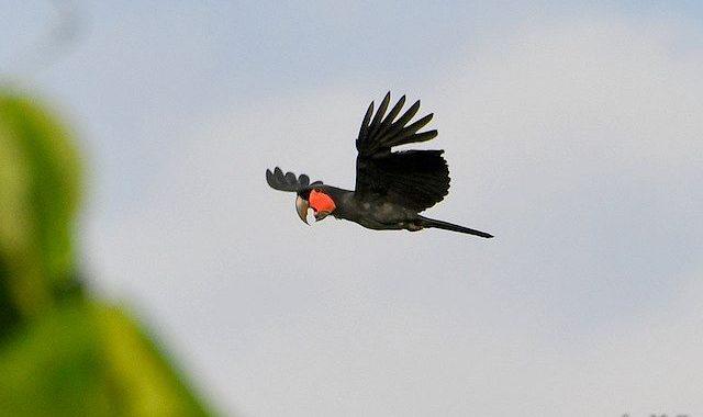 西パプア探鳥記   West Papua(7)ヤシオウム、キバタン