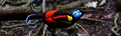 西パプア探鳥記   West Papua(8)アカミノフウチョウ
