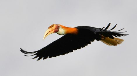 西パプア探鳥記   West Papua(4)パプアシワコブサイチョウ