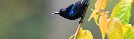 西パプア探鳥記   West Papua(10)タイヨウチョウの仲間