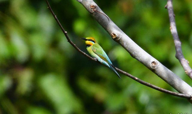 西パプア探鳥記 West Papua(12・了)ソロンの鳥たち