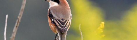 秋の田んぼの鳥たち~モズ、ノビタキ、タマシギ