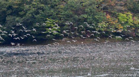 山形県・鶴岡大山下池のカモ、マガン、コハクチョウ