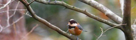 森林公園の小鳥たち~クロジ、カラ類