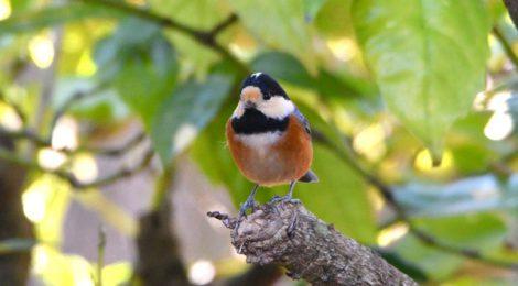 紅葉の森の小鳥たちを探して