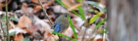 森の小鳥たち~ルリビタキ、アオゲラ