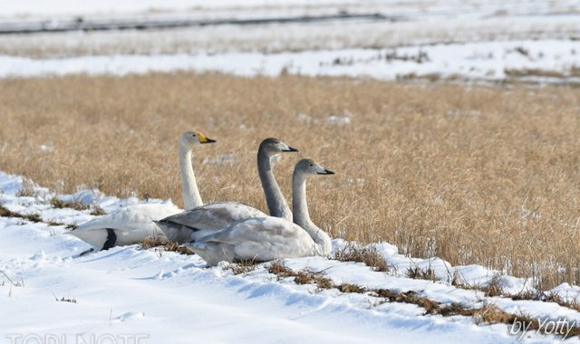 雪の田んぼで~オオハクチョウ、カシラダカの群れ