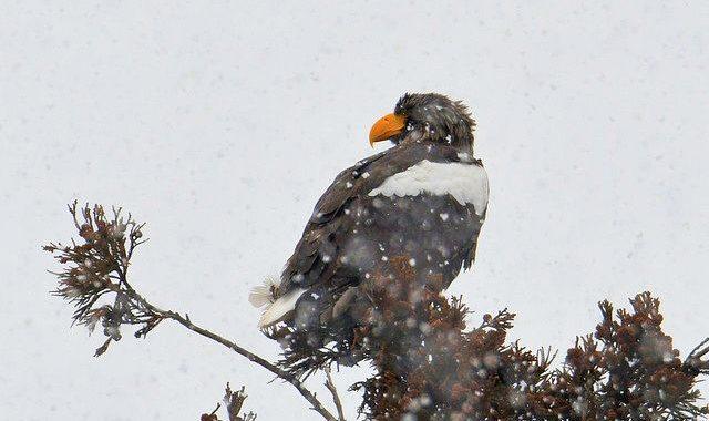 涸沼の猛禽類~雪のオオワシ、チュウヒなど