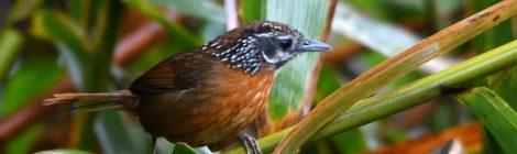 ベトナムの野鳥(1)Vietnam Birding 北部・霧のタムダオ