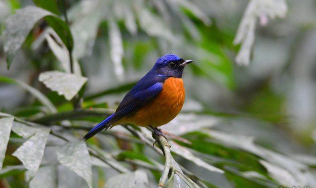 ベトナムの野鳥(4)Vietnam Birding コシアオヤイロチョウ、フーキェンアオヒタキ