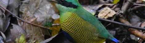 ベトナムの野鳥(3)Vietnam Birding ミドリシマヤイロチョウ、シマゴマ