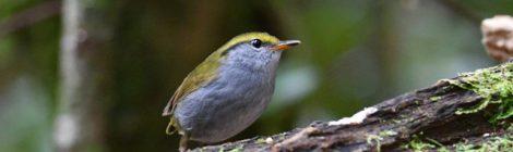 ベトナムの野鳥(6)Vietnam Birding キマユコビトサザイ ムネアカヒタキ
