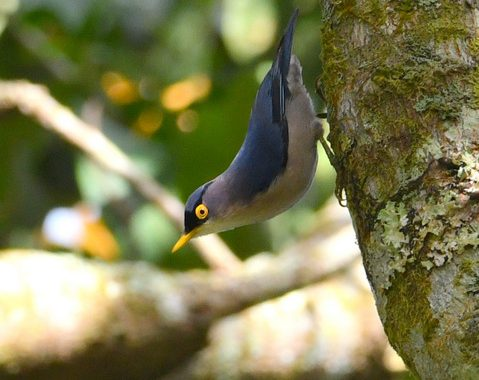 ベトナムの野鳥(7)Vietnam Birding キバシゴジュウカラ