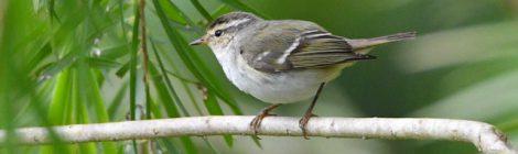ベトナムの野鳥(8)Vietnam Birding  ムギマキ、キマユムシクイ