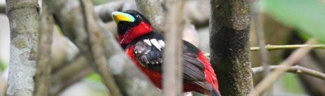 ベトナムの野鳥(10)Vietnam Birding クロアカヒロハシ
