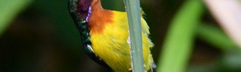 ベトナムの野鳥(11)Vietnam Birding タイヨウチョウの仲間
