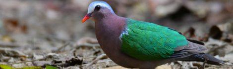 ベトナムの野鳥(12)Vietnam Birding キンバト