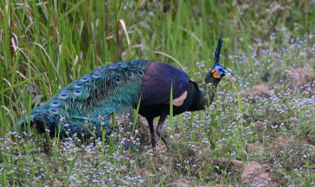 ベトナムの野鳥(13・了)Vietnam Birding マクジャク