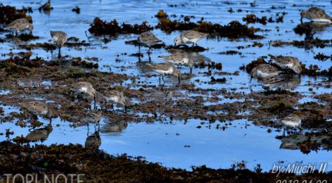 春の海辺~ハマシギ、アカエリカイツブリ、ワシカモメなど