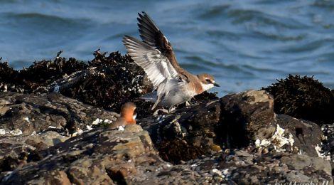 海辺のメダイチドリ、キョウジョシギ