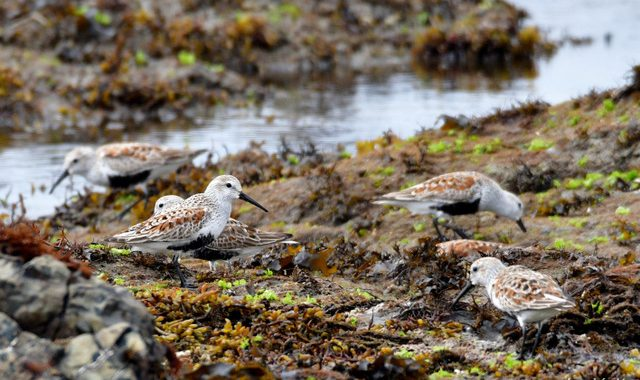 海の探鳥~ハマシギ、キアシシギなど