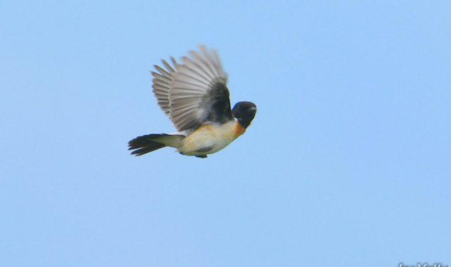 清里・野辺山の鳥たち(1)カッコウ、ホオアカ、ノビタキさえずり飛翔