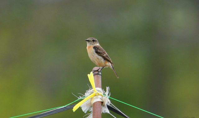 清里・野辺山の鳥たち(2)ノビタキ、ヒガラ、高原モズ