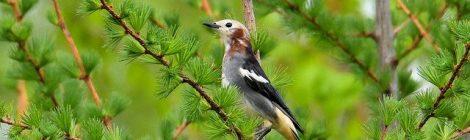 清里・野辺山の鳥たち(3)オオルリ、コムクドリ