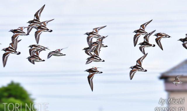 稲敷のキョウジョシギの群れ