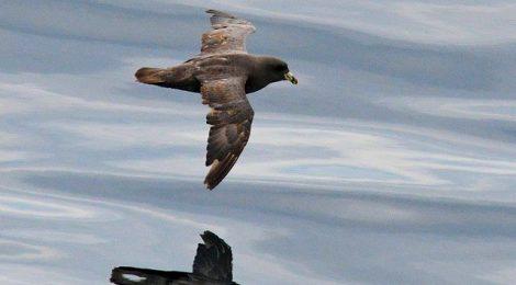 大洗-苫小牧航路の鳥見往路(1)フルマカモメ、カンムリウミスズメ