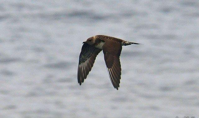 大洗-苫小牧航路の鳥見往路(2)トウゾクカモメ、アホウドリ