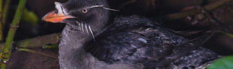 天売島の散策(2)~ウトウの帰巣