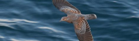 大洗-苫小牧航路の鳥見復路~キジバト、白いフルマカモメ