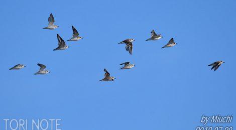 シロチドリの群れ、コアジサシの親子