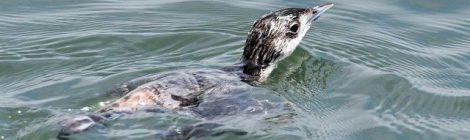 漁港のカンムリウミスズメ(2)魚とり編
