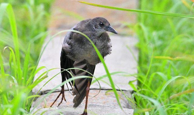 ヒクイナの若鳥たち