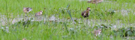 小山市のなつみず田んぼヘブン(2)淡水シギチの群れ