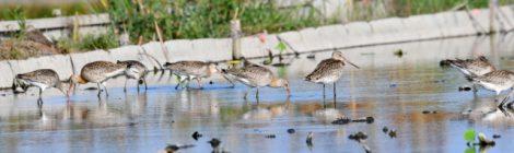 稲敷で探鳥2018秋(2)~オグロシギの群れ、アカアシシギなど